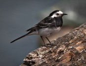 pied wagtail mark robinson