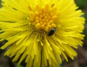pollen beetles Rachel (flickr)