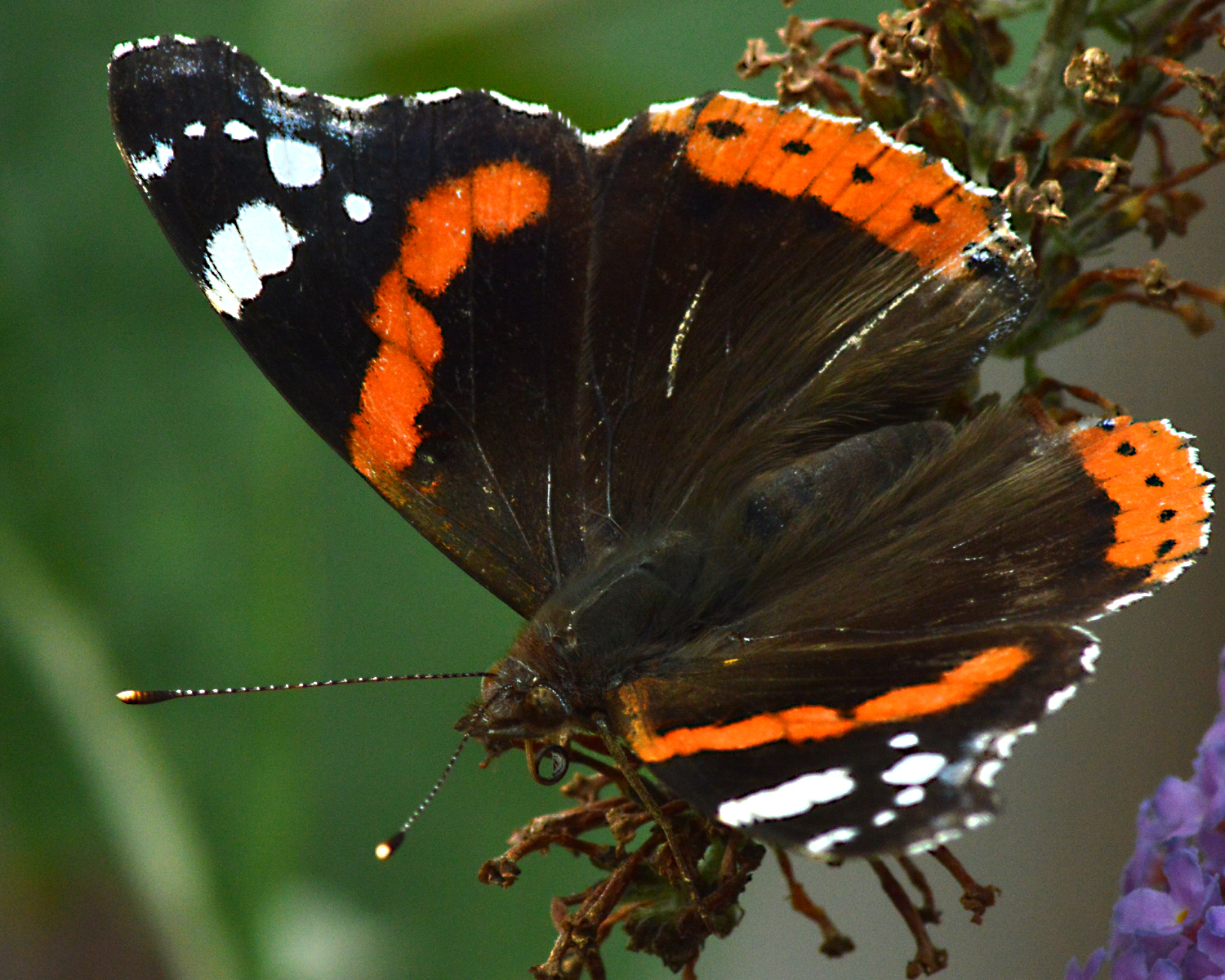 red admiral jacob spinks