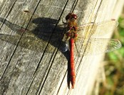 ruddy darter dragonfly john abbott