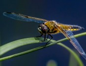 scarce chaser glyn pacan