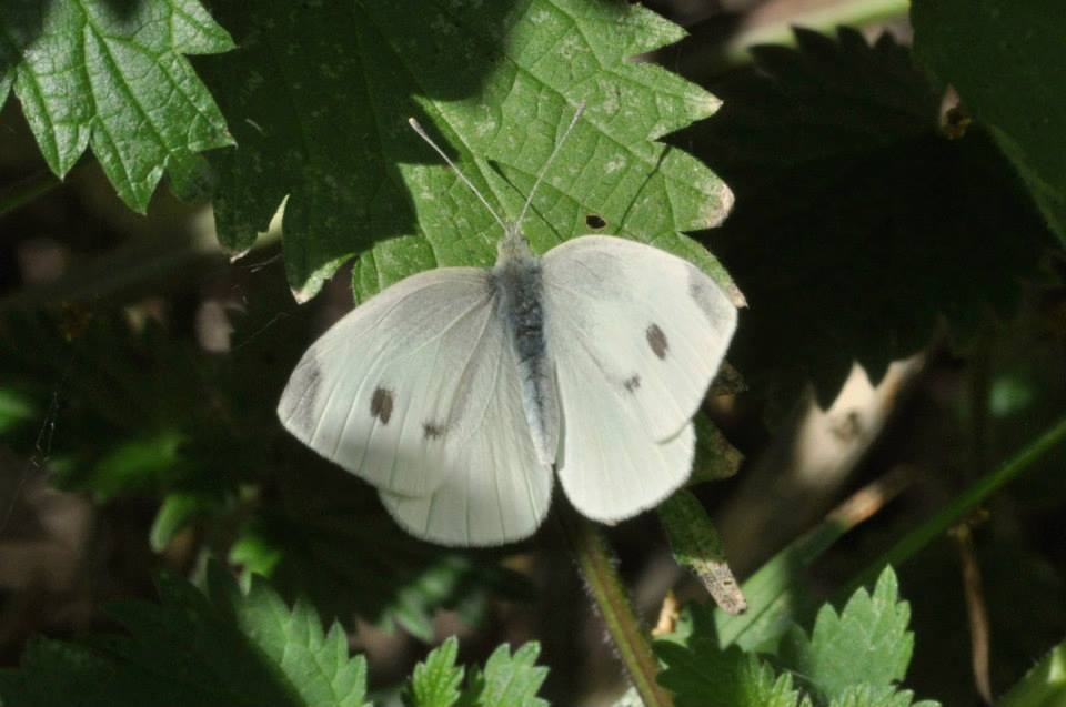 small white butterfly john abbott