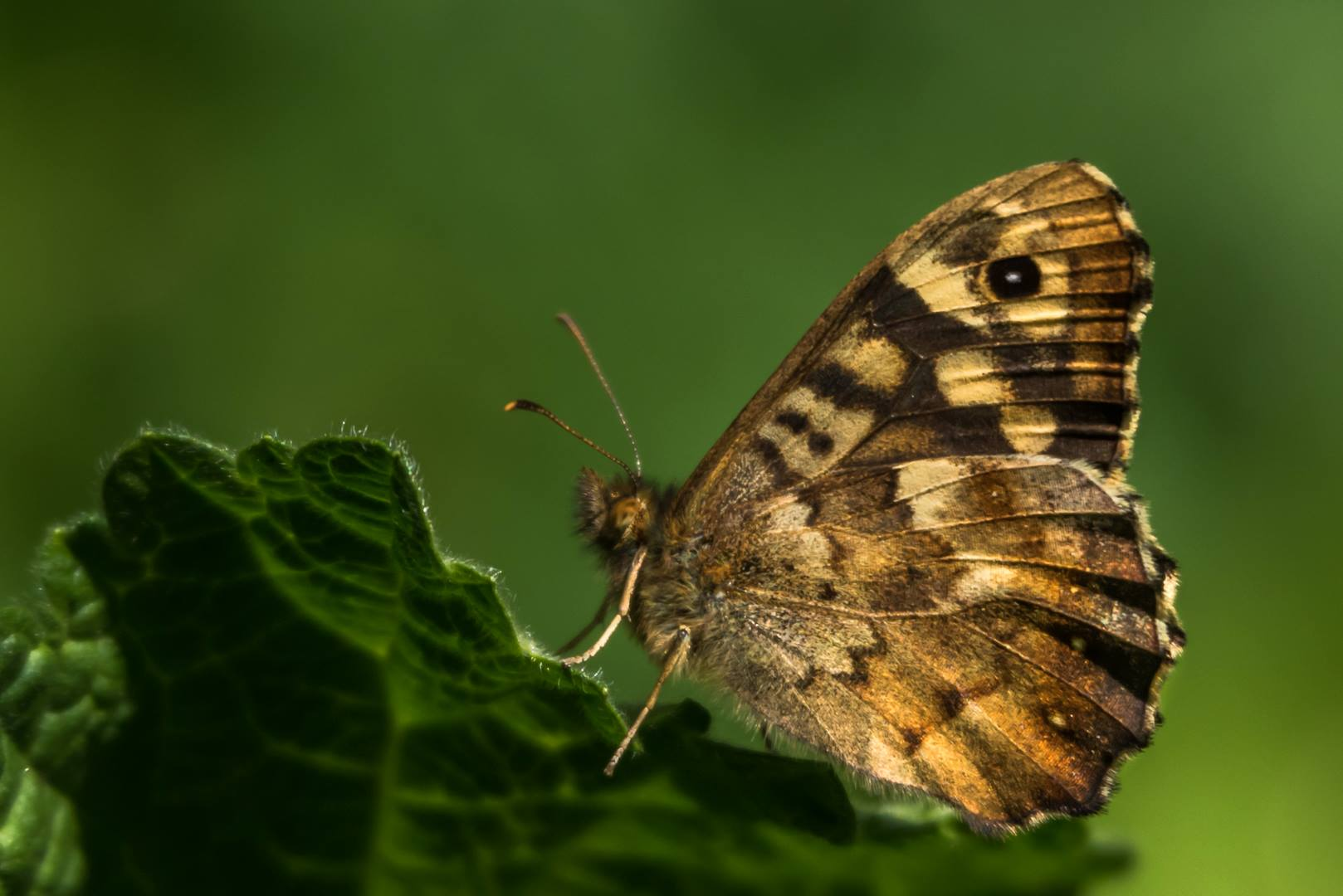 speckled wood butterfly glyn pacan