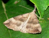 the snout moth bramblejungle