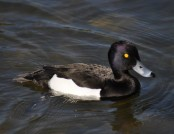 tufted duck john abbott