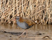 water rail kev chapman