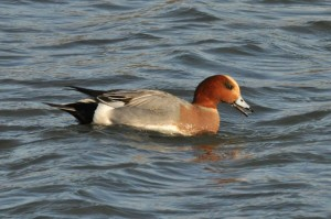 widgeon john abbott