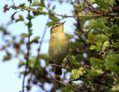 willow warbler ron knight