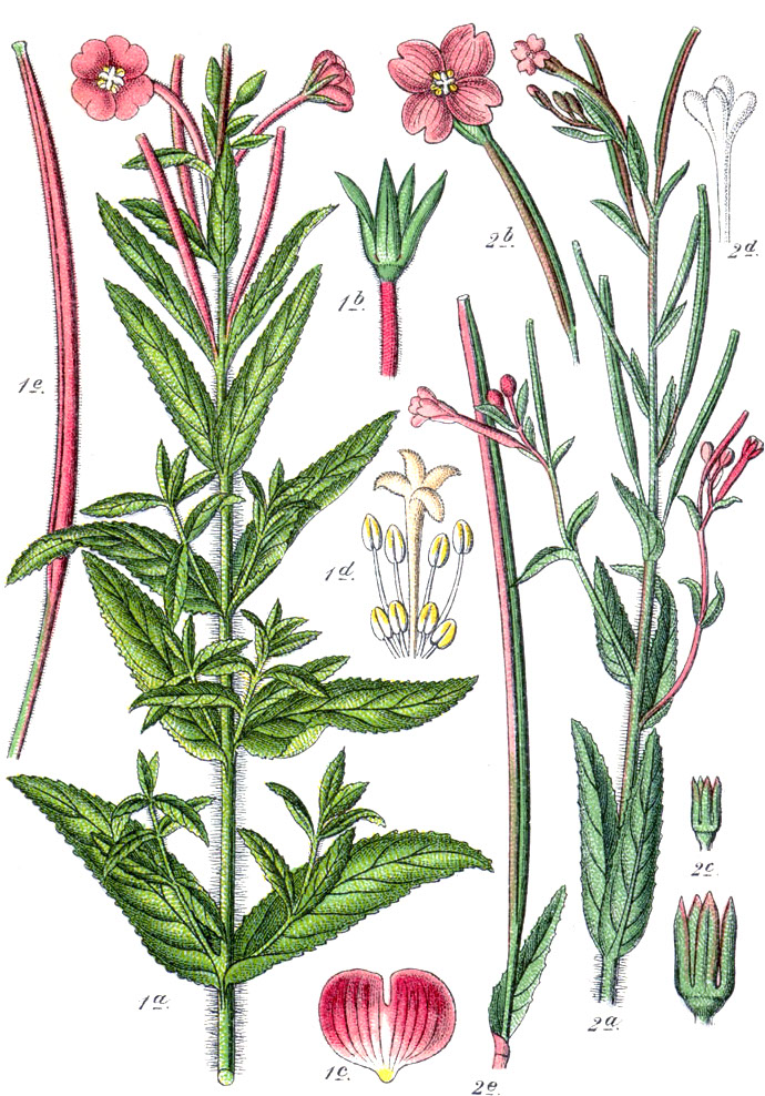 Greater willowherb